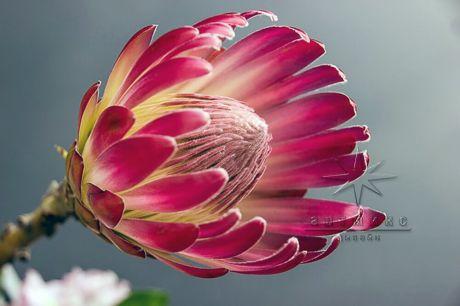 Протея - экзотический цветок и символ Южно-Африканской Республики